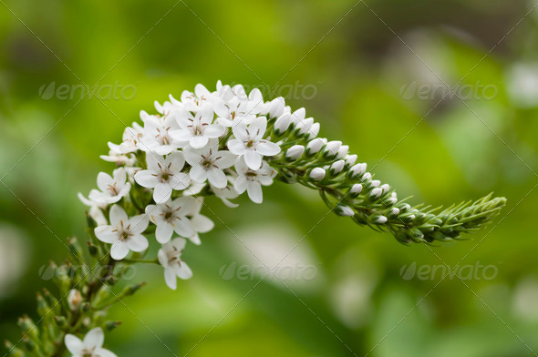 Spike of white flowers - Stock Photo - Images