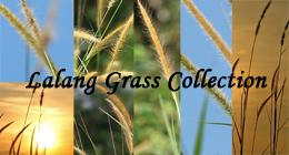 Lalang Grass (Imperata Cylindrical)
