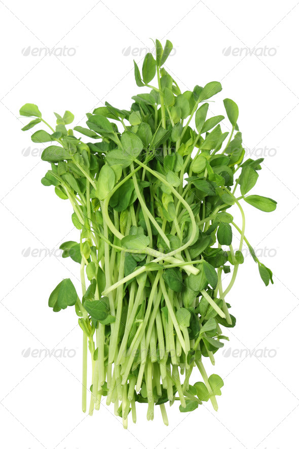 Snow Pea Sprouts - Stock Photo - Images
