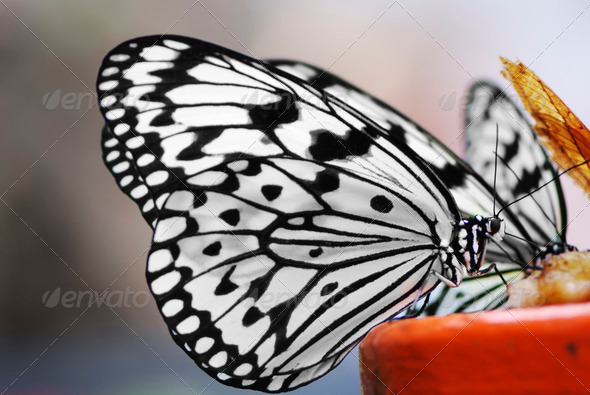 Tree Nymph Butterfly - Stock Photo - Images