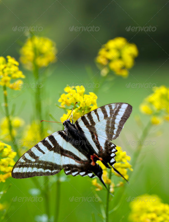 Zebra Swallowtail Butterfly - Stock Photo - Images