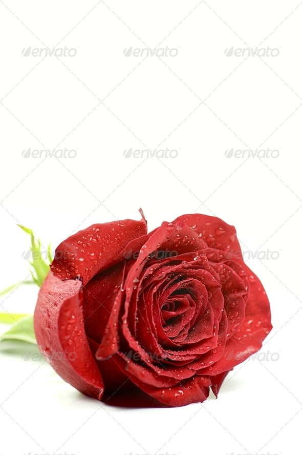 Single Rose - Stock Photo - Images