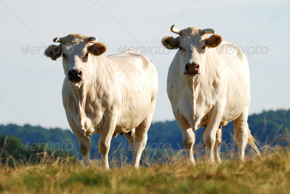 Cattle Herd - Stock Photo - Images