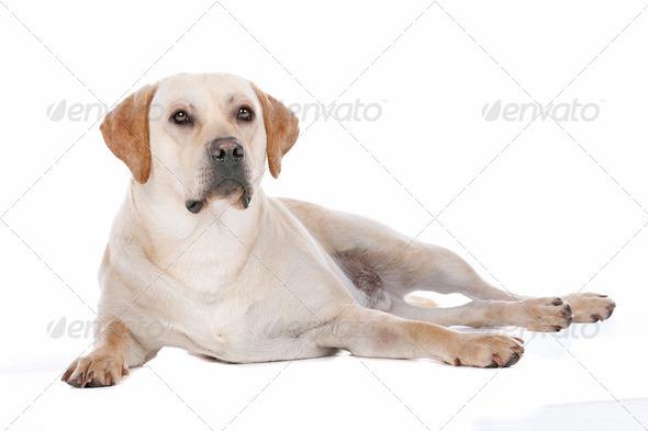 Labrador Retriever - Stock Photo - Images