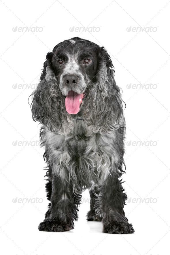blue roan cocker spaniel - Stock Photo - Images