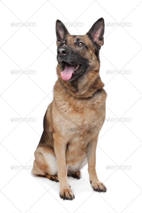 German Shepherd - Stock Photo - Images
