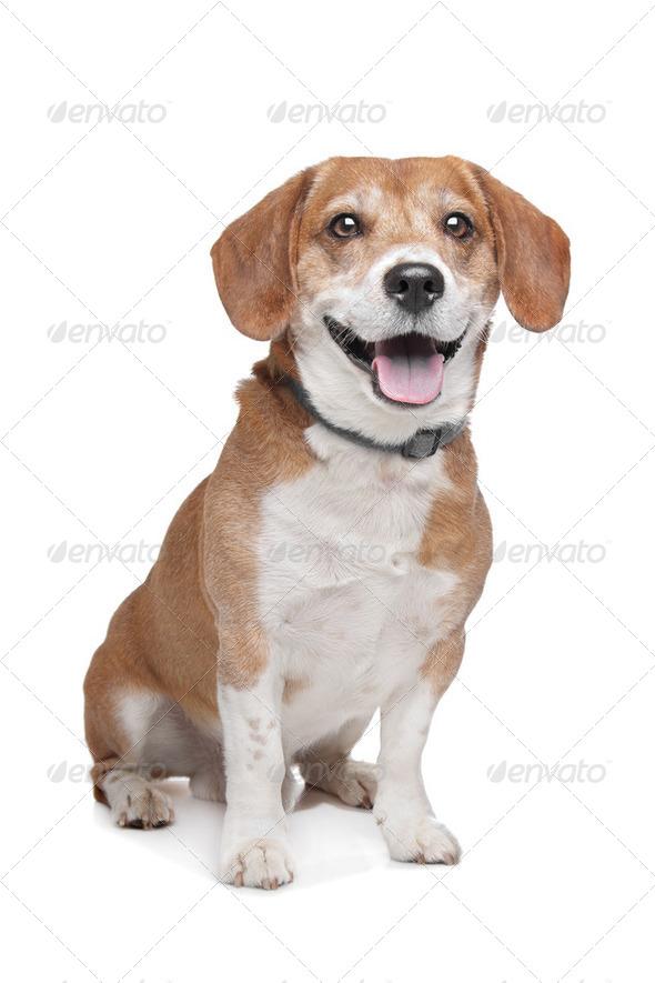 Beagle - Stock Photo - Images