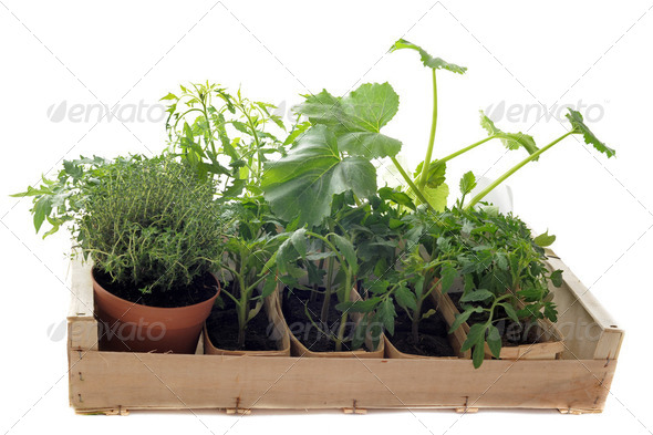 vegetables seedling in a crate - Stock Photo - Images