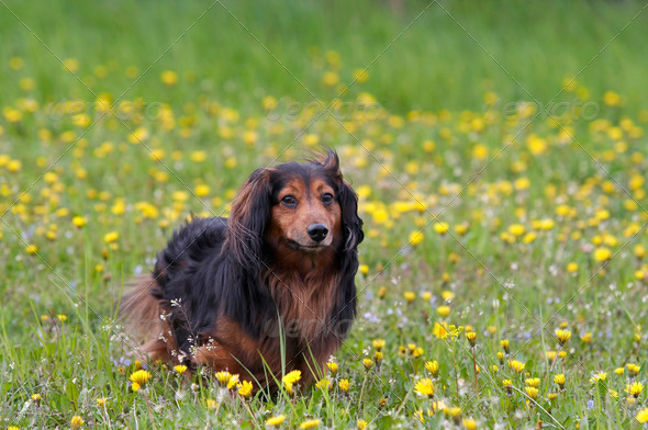 Dachshund on the dandelions meadow - Stock Photo - Images