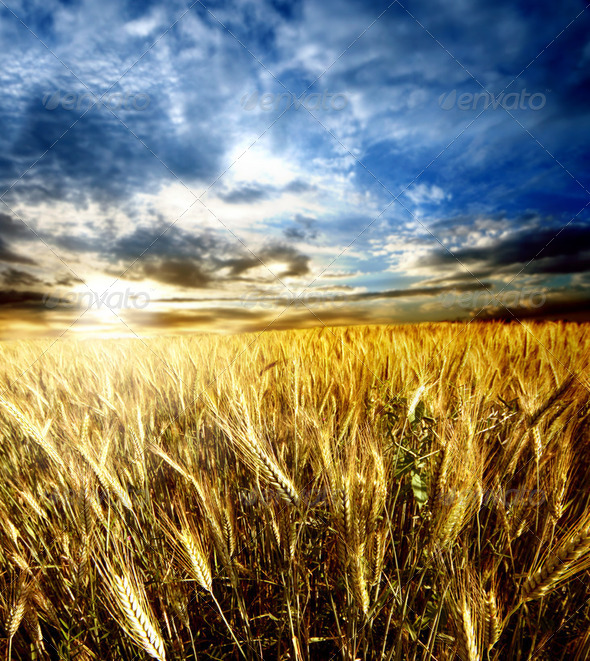 Wheatfield - Stock Photo - Images
