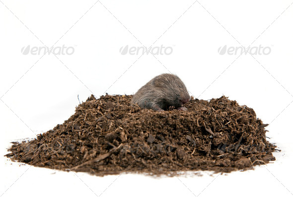 Mole - Stock Photo - Images