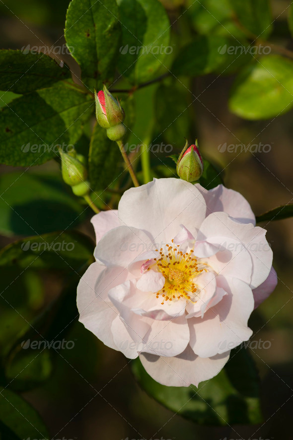 Pink ornamental rose - Stock Photo - Images