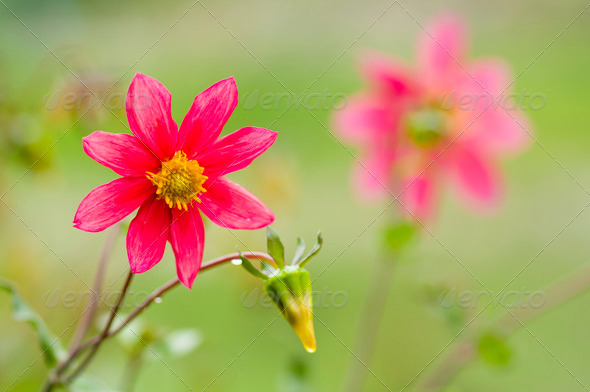 Red Mexican dahlia - Stock Photo - Images
