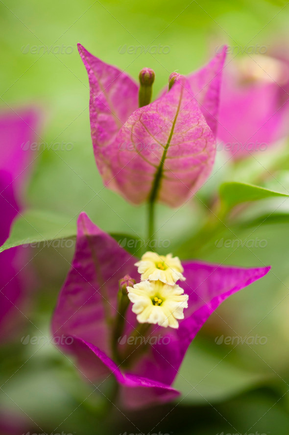 bouganville flower closeup - Stock Photo - Images