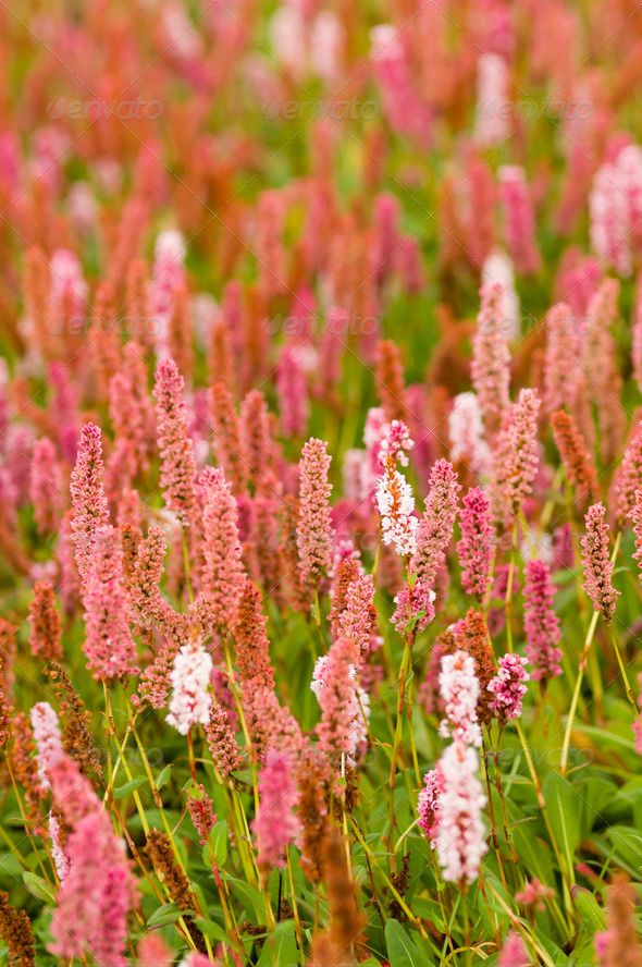 Plantain pink flowers - Stock Photo - Images