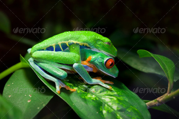 Mating Red Eyed Tree Frogs - Stock Photo - Images