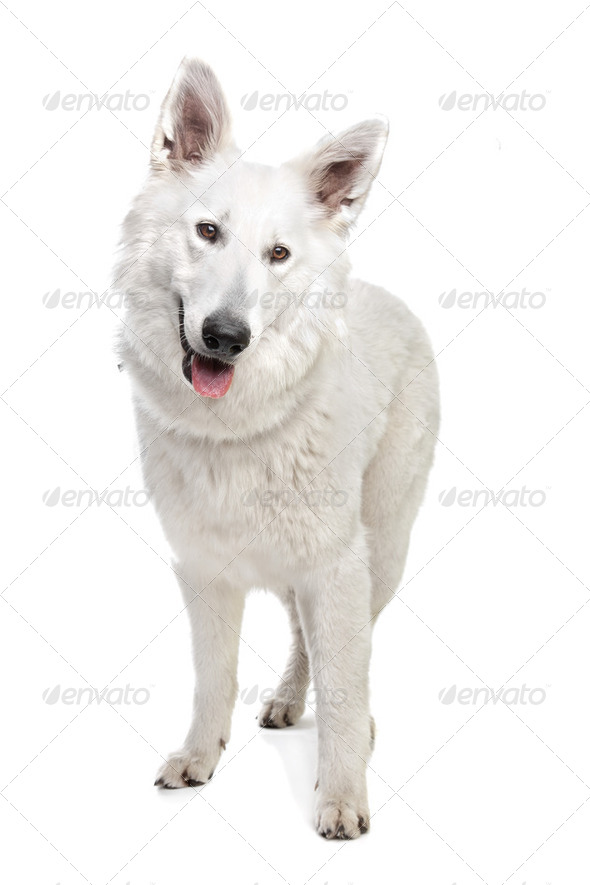 White Swiss shepherd - Stock Photo - Images