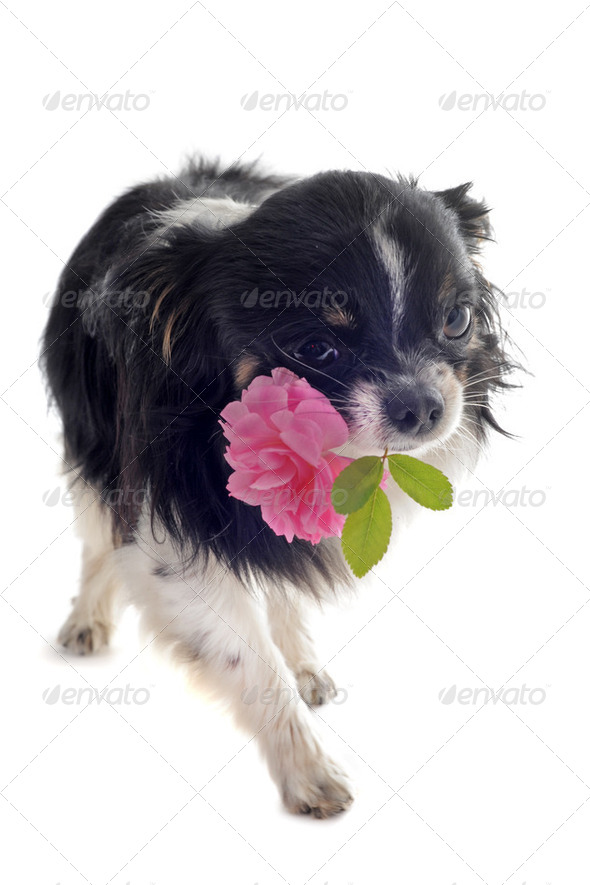 chihuahua and flower - Stock Photo - Images