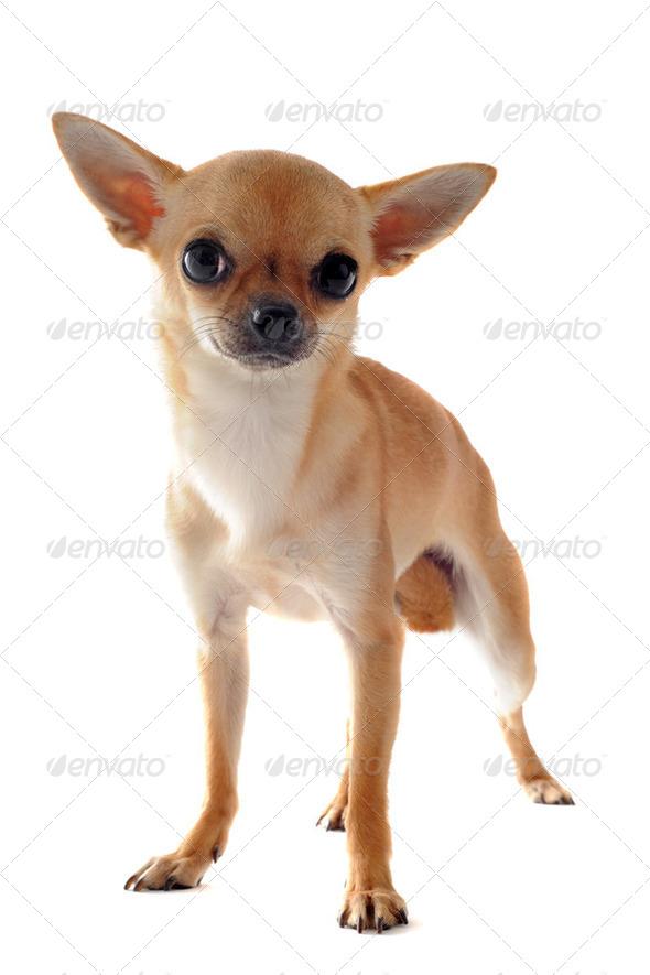 short hair chihuahua - Stock Photo - Images