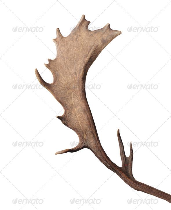 Reindeer Horn - Stock Photo - Images