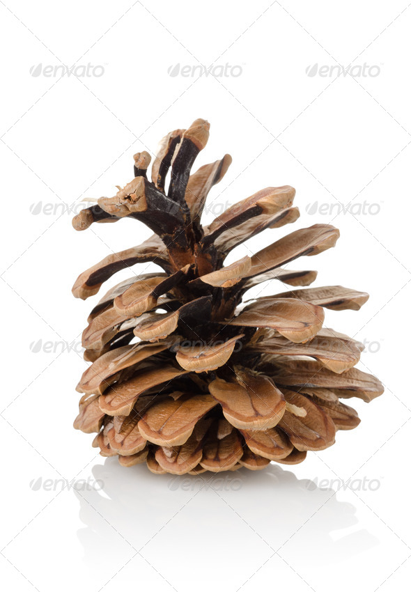 Pine cone isolated - Stock Photo - Images