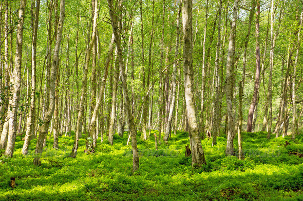 Birch forest - Stock Photo - Images