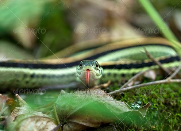 Garter Snake - Stock Photo - Images