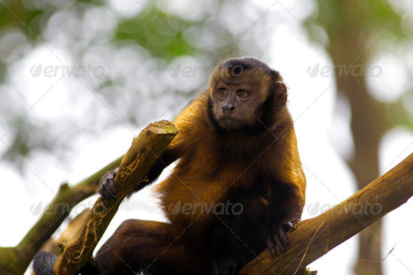Brown Capuchin Monkey - Stock Photo - Images