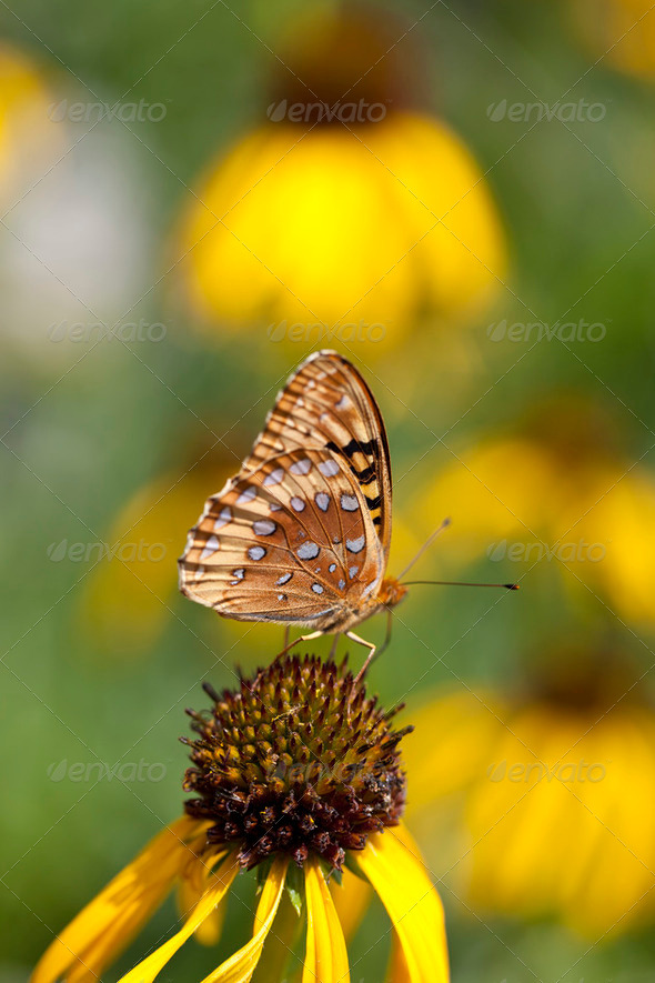 Butterfly on Coneflower - Stock Photo - Images