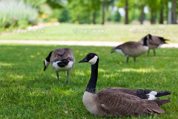 Canada Goose - Stock Photo - Images
