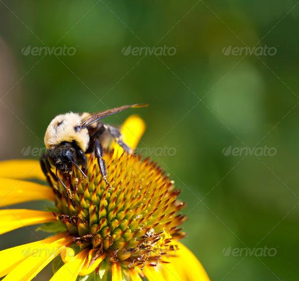 Bumblebee - Stock Photo - Images