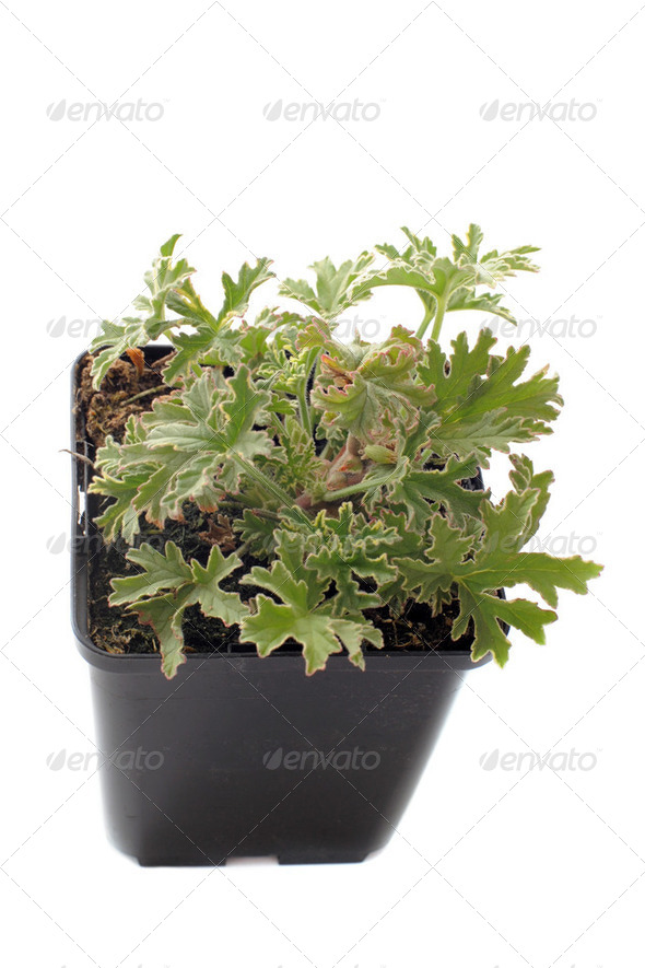 Pelargonium citronnellum - Stock Photo - Images