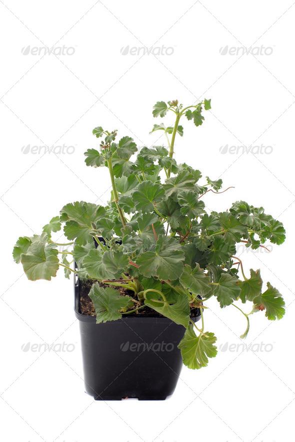 Pelargonium capitatum - Stock Photo - Images
