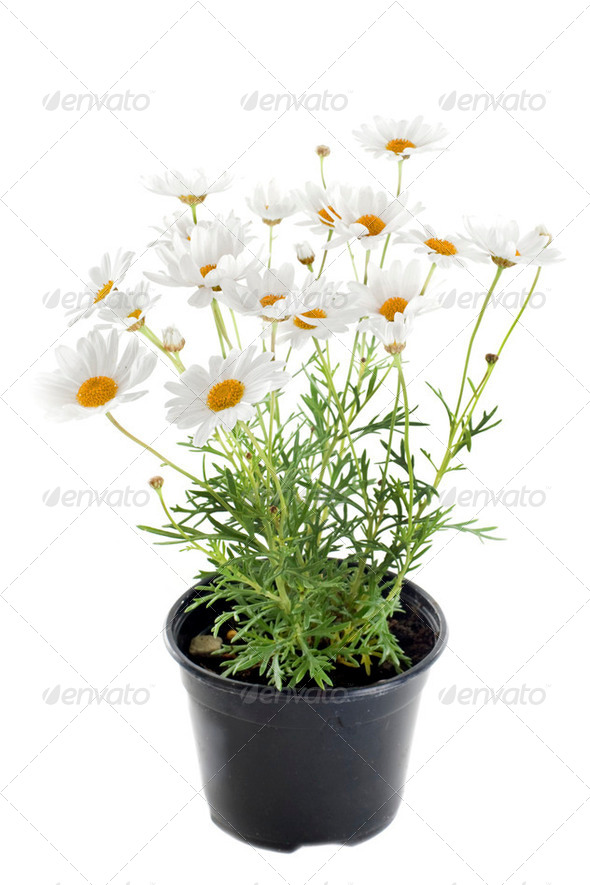 anthemis punctata - Stock Photo - Images