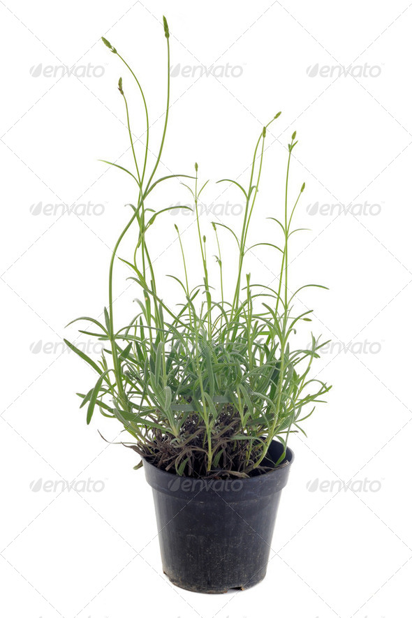 lavander in pot - Stock Photo - Images