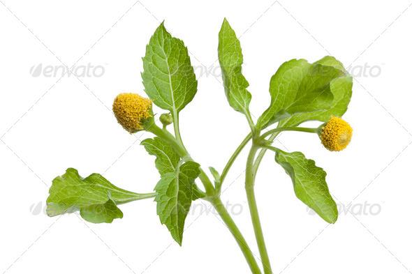 Fresh para cress plant - Stock Photo - Images
