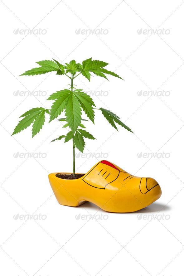 Marijuana plant in wooden shoe - Stock Photo - Images