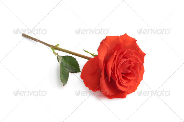 Single red rose - Stock Photo - Images