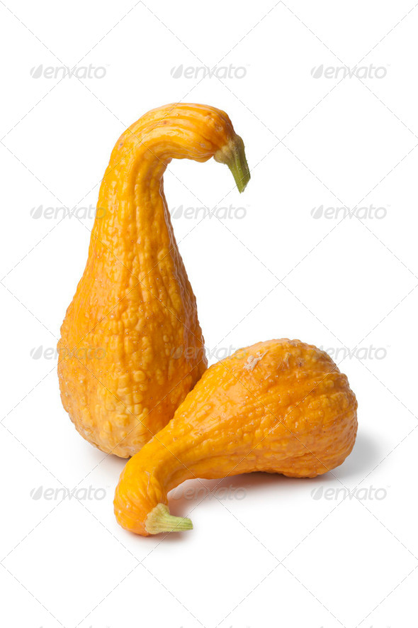 Yellow crookneck squashes - Stock Photo - Images