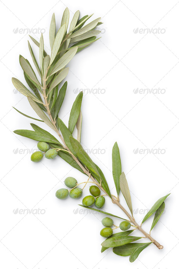 Olive twig - Stock Photo - Images