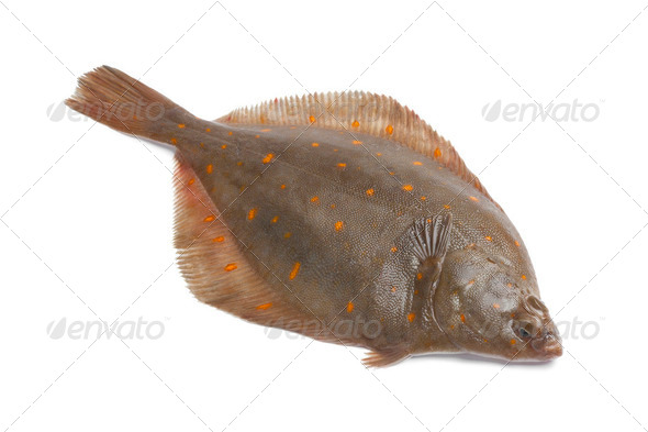 Whole single fresh raw plaice - Stock Photo - Images
