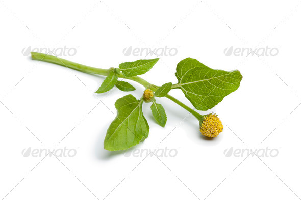 Fresh para cress plant - Stock Photo - Images