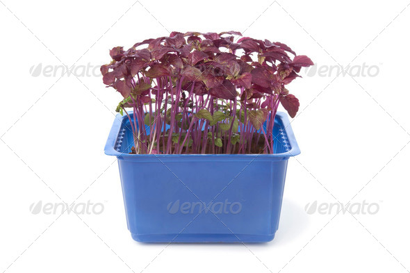 Fresh purple perilla - Stock Photo - Images