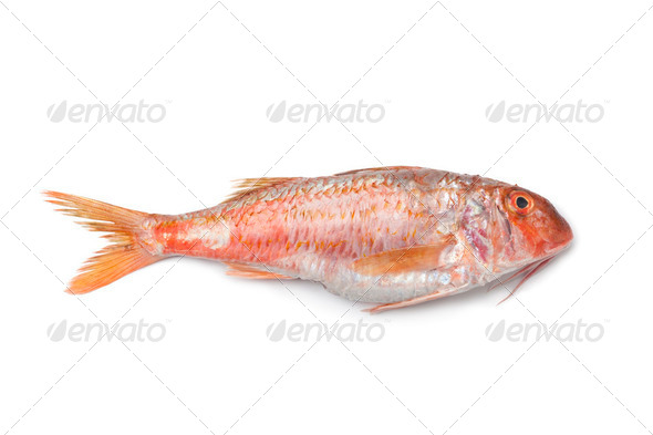Whole single fresh Red mullet - Stock Photo - Images