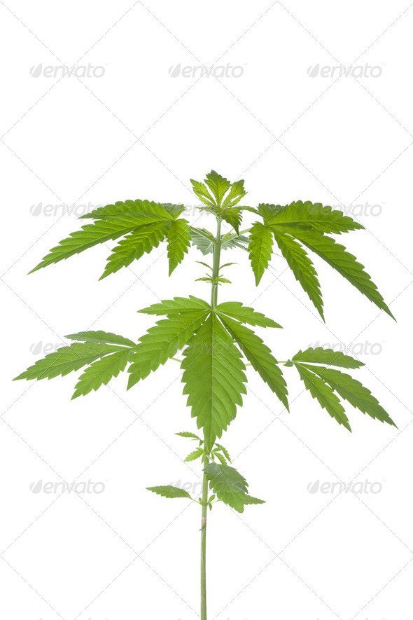 Marijuana plant - Stock Photo - Images
