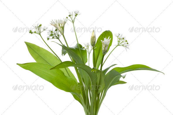 Fresh blooming Ramson - Stock Photo - Images