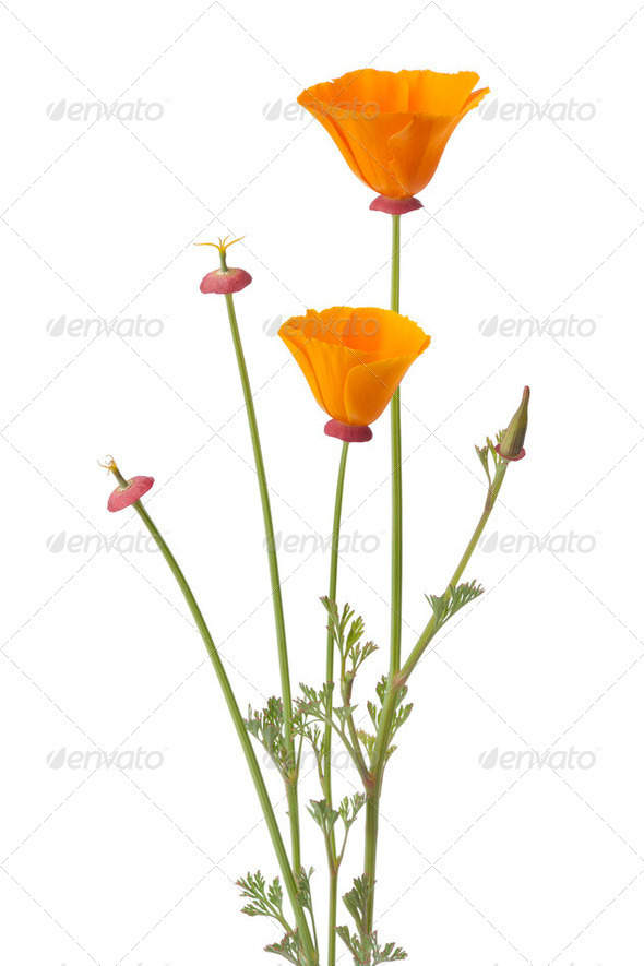 California poppy and buds - Stock Photo - Images