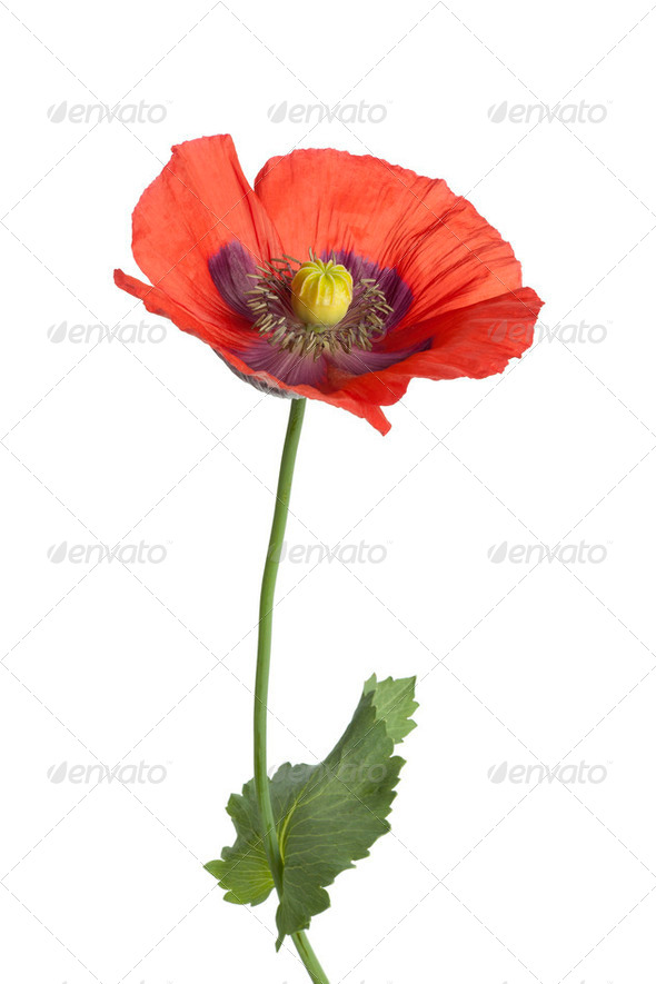 Red flowering Opium poppy - Stock Photo - Images