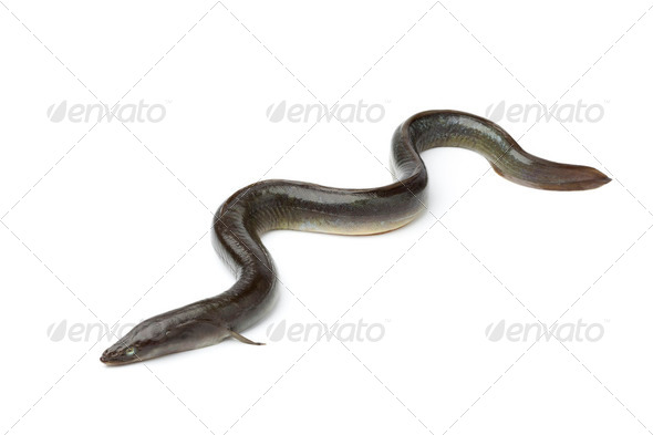 Single fresh  European eel - Stock Photo - Images