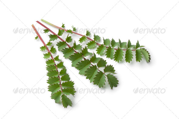 Fresh small burnet leaves - Stock Photo - Images